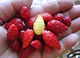 buy Strawberry Wild Seeds Baron Solemacher Red Everbearing Vegetable for Planting Giant Non GMO 100 Seeds now, new 2019-2018 bestseller, review and Photo, best price $6.98