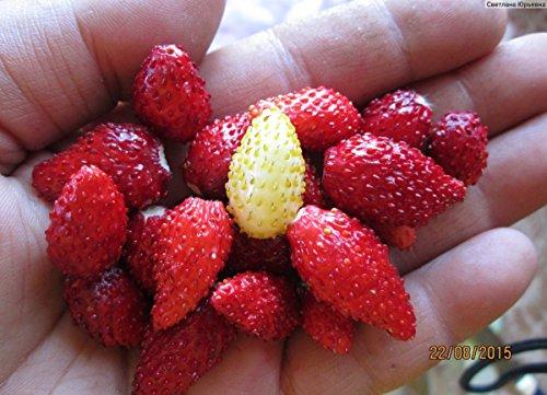 Seeds Rare Strawberry Baron Solemacher Everbearing Wild Organic Russian Ukraine for Planting (Wild Strawberries Seeds)