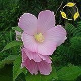 Lumos80 Pink Mallow Hibiscus Moscheutos Palustris 10,15,30 Seeds