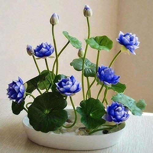 Sholdnut 5pcs/Bag Seeds Dwarf Lotus Flower Mixed Colors Mini Water Lily Flowers Seeds Aquatic Plant