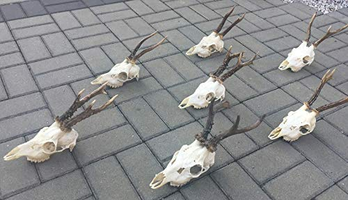 (Set of 7 Roe Deer (caprelous caprelous) Skulls with Antlers Complete Skulls with Upper Jaws Great Taxidermy Ornament Decor Decor Education Gothic Halloween Interior)