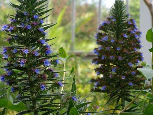 Echium Pininana Tree (Sent in 9cm pots) (1) Hot Plant Company