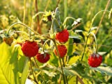 Home Comforts Laminated Poster Fragaria Plant Strawberry Wild Rosaceae Vesca Poster Print 24 x 36