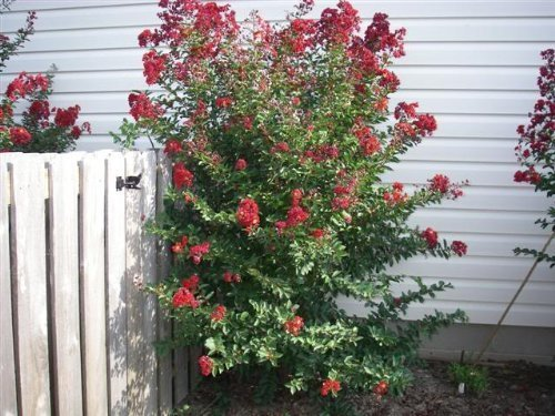 35 DYNAMITE RED CREPE MYRTLE Lagerstroemia Flowering Shrub Bush Small Tree Seeds by Seedville
