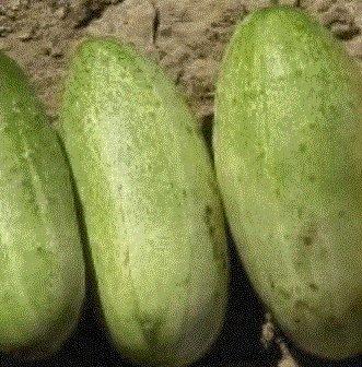 F1 Carolina Hybrid Pickling Cucumber 25 seeds -