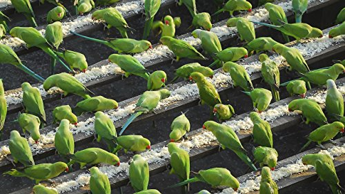 India's 'Birdman' Feeds 4,000 Parakeets A Day (Southern Beast Wild Of)