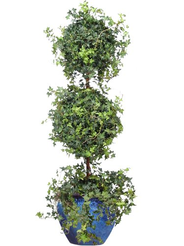 DOUBLE MINI ENGLISH IVY TOPIARY 55