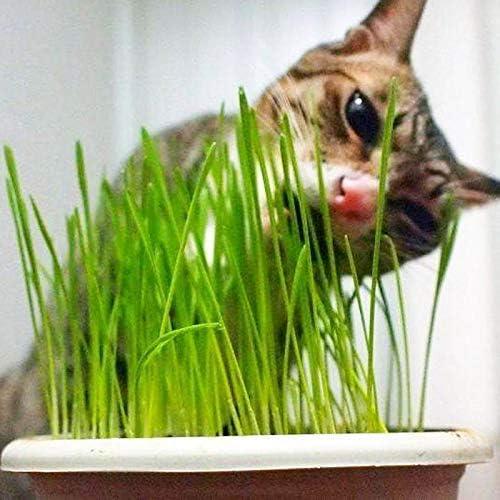Hierba de gato Hierba de trigo Semilla de hierba 200+ Gran regalo de jardinería Fácil de cultivar Hierba de avena para la siembra de jardines de jardín: Amazon.es: Jardín