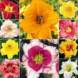 (Complete Reblooming Daylily Collection)