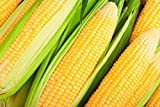 buy Hometown Seeds Kandy Korn Hybrid Corn now, new 2019-2018 bestseller, review and Photo, best price $5.99