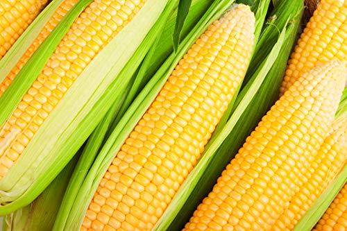 Hybrid Corn - Hometown Seeds Kandy Korn Hybrid Corn