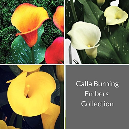 Black Calla Lily Odessa (3 BULBS - Not Just Seeds!) Zantedeschia Tubers - GORGEOUS! by EGBULBS (Image #9)