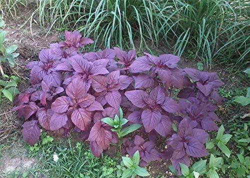 Best Original of 6,600 Seeds red Garnet Amaranth Amaranthus Seeds