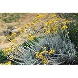 """Dwarf Curry Herb Plant - Helichrysum - 3"""" Pot"""