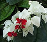 "White & Red Bleeding Heart Vine Plant - Clerodendrum - Indoors/Out - 4"" Pot"