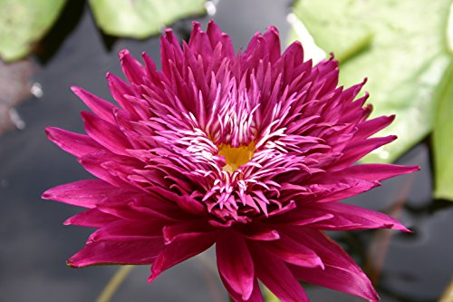 RED WATER LILY SCARLET FLAME, SOLD AS: BARE ROOT