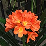 hot Sale clivia miniata Seeds Gorgeous Seeds Rare Bush Lily Flower Seeds DIY Home Garden with high Ornamental Value 100 pcs