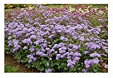 David's Garden Seeds Flower Ageratum Tall Blue Planet G1835QP (Blue) 100 Hybrid Seeds