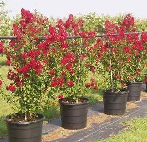 Arapaho Crape Myrtle - Size:  4-5 ft, live plant, includes special blend fertilizer & planting guide by PERFECT PLANTS
