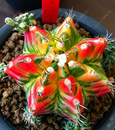 100% Real cactus seeds, Astrophytum ornatum rare succulent,bonsai pot flower seeds, indoor plant for home garden - 10 pcs/pack