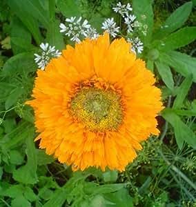 Semillas de flores y # x421; alendula corazón amarillo de Ucrania