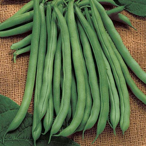 David's Garden Seeds Bean Bush Blue Lake 274 SL3085 (Green) 100 Non-GMO, Heirloom Seeds (Best Bush Green Beans To Grow)