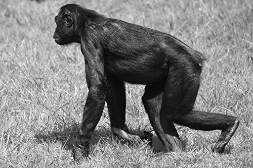 Home Comforts Peel-n-Stick Poster of Bonobo Animal Mammal Monkey Nature Vivid Imagery Poster 24 x 16 Adhesive Sticker Poster (Best Nature Of Bonobos)