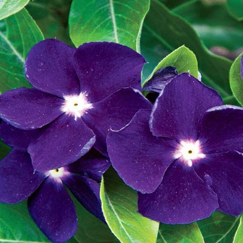 40+ Deep Purple Periwinkle / Vinca / Frangrant Long-lasting Annual / Deer Resistant / Ground Cover