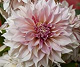 Dahlia Dinnerplate - pink ( 2 Tuber ) Giant Flowers, Great Cut Flowers