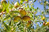 Argan Oil | Organic (1gal)