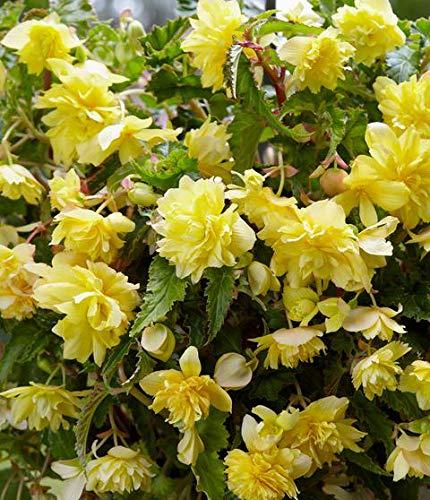 Double Hanging Basket Yellow Begonia Bulb, Start, Root, SeedsBulbsPlants&More