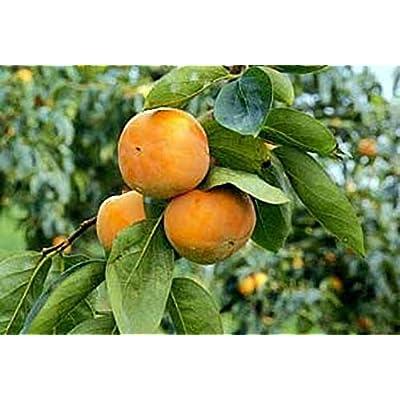 Maekawa Jiro Japanese Persimmon Tree Grafted Cannot Ship to CA, AZ, AK, HI, OR or WA PER State Laws : Fruit Plants : Garden & Outdoor