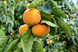Maekawa Jiro Japanese Persimmon Tree Grafted CANNOT SHIP TO AK or HI...