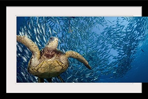 greatBIGcanvas Indonesia, Bali, A Green Sea Turtle Glides Below A School Of Bigeye Jacks by Dave Fleetham Photographic Print with Black Frame, 36'' x 24'' by greatBIGcanvas