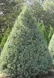 "100 Plans Carolina Sapphire 'Cupressus arizonica' 12-20"""