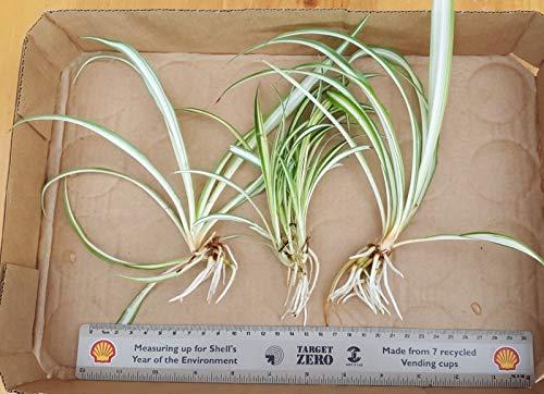 Casavidas Seeds Package: 3 Large Rooted Chlorophytum Spider Seedss Air Purifier Variegated House Seeds ()