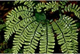 Maidenhair Fern Adiantum pedatum Root Start LOT OF 10