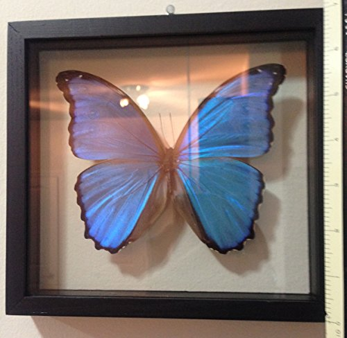 Real Blue Morpho Butterfly Framed and Mounted in Black Display (Butterfly Display Case compare prices)