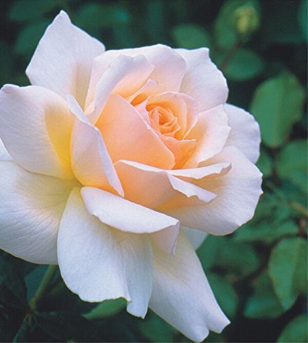 """""""Chandos Beauty"""" 4.5 Litre Bush Rose, Apricot Pink Greenbrokers Limited 5028320965118"""