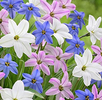 (3) Spectacular Flowering Perennial Flowers, Ipheon Mixed, Lily, Bulbs