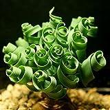 Loveble 20 Pcs Spiral Grass Bonsai Plant Forage Seeds