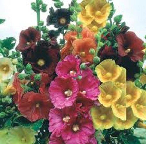 35+ Alcea Hollyhock Flower Seed Mix