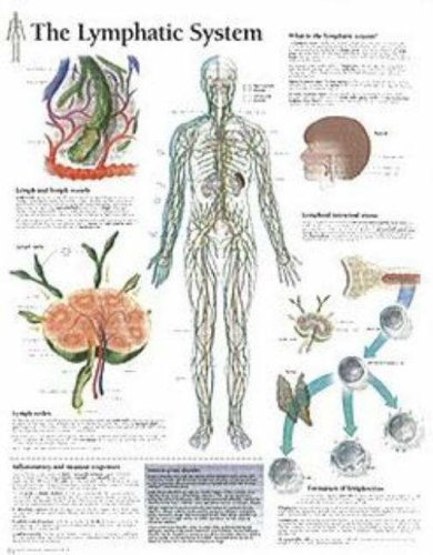 The Lymphatic System chart: Laminated Wall - System Laminated