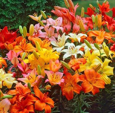 ((2) Dwarf Asiatic Lily Mix, Bulbs, Great as a Accent Plant, Flowers are just Spectacular)