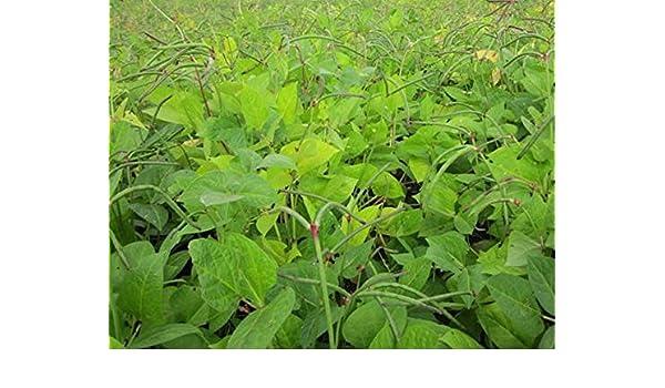 Pinkeye Purple Hull BVR Southern Pea Cowpea Garden Vegetable Legume Seeds