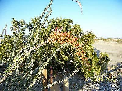 Ocotillo, Fouquieria splendens, Jacob's Staff Vine, Rare Desert Cactus(Premium Quality)