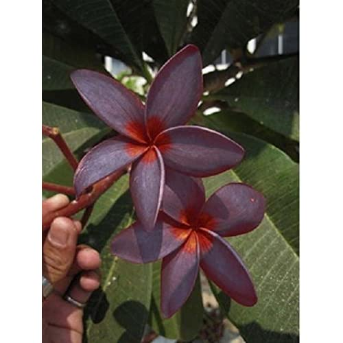 """Top """"SWEETY SUGAR"""" FRAGRANT PLUMERIA'S CUTTING WITH ROOTED 7-12 INCHES REGISTERED TRACK ONLINE 100%GUARANTEE SATISFICATION"""