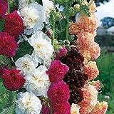 Double Bloom Mix Hollyhock Seeds (Alcea Rosea) 30 Seeds UPC 646263362068