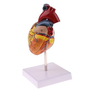 Gazechimp 1: 1 Lebensgröße Menschliches Herzmodell Anatomische ...