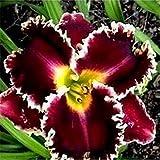 100 semi Mix semi fresie, splendido giardino di casa fai da te colorato e profumato fiore pianta fiori recisi, giardino, decorazione balcone